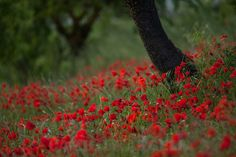 Red Spring - A little part of the poppies field.