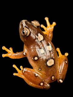 An African reed frog (Hyperolius argus)