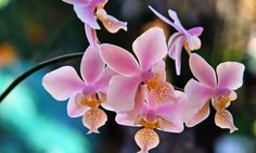 Orchidee Flowerful Jigsaw Puzzle - click to play!