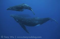 Swimming with Humpback Whales in Tonga | 2011 Season Part 5