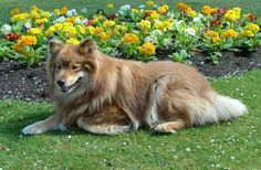 http://www.completedogsguide.com/images/dog-breeds/largepic/Finnish-Lapphund4.jpg