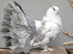 Indian fantail pigeons are found in many colors. Usually white doves are common among them. Cute Pigeon, Pigeon Bird, Pretty Birds, Beautiful Birds, Fantail Pigeon, Pigeon Pictures, Pigeon Breeds, World Birds, Rare Birds