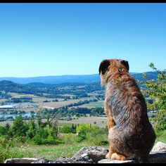 Border Terrier. Token looking over his peeps!