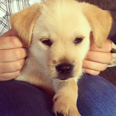 Our new baby. Mans Best Friend, Best Friends, New Baby Products, Labrador Retriever, Dogs, Instagram Posts, Animals, Beat Friends, Labrador Retrievers