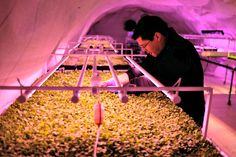 Underground and on rooftops, farms take root in big cities - Innovative projects are trying to help feed the world's booming cities by farming in urban spaces, including high above, and far beneath, busy streets. Agriculture Projects, Urban Agriculture, Urban Farming, Busy Street, Food Security, Agent Of Change, London Underground, Innovation, World