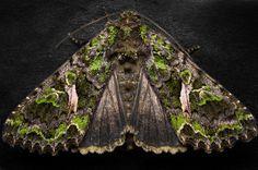 Orache Moth by FreezingGlare.deviantart.com on @deviantART