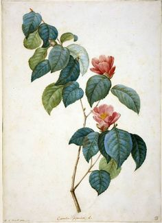 Camellia Japonica  Maker:  Redouté, Pierre Joseph; draughtsman; Flemish, 1759-1840    Category:  drawing  Name:  drawing    Date:  1793  School/Style:  French  Technique:  watercolour
