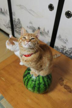 I like watermelon, too, Chatora.