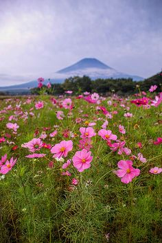 Pink Cosmos and Mt Fuji