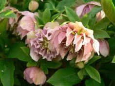 Double hellebore flowers