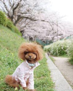 ☆Apr 3, 2016 * 雨降りで こんにちは * 昨夜の強雨でさん 大丈夫かな? * * 昨日は風が強くて乱れ髪のショコラです(笑) * * 桜が綺麗なとこに行きたかったけど どこも大渋滞だと思うと足踏み * 私が幼い頃からよーく遊んでた公園へ * こちらでも十分、お花見楽しめて のんびりだからショコラの表情も穏やかでした * * #トイプードルレッド#トイプードル#プードル#わんこなしでは生きていけません会#親バカ万歳キャンペーン#桜#ソメイヨシノ#私のギャラリーピンクに染めます計画#雪柳#カメラ女子#カメラ好きな人と繋がりたい#todayswanko#west_dog_japan *