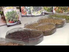 Como hacer crecer brotes germinados Batlle mov - YouTube