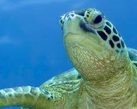 Maui Sea Turtle