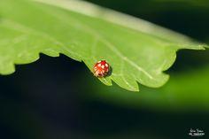 Photograph Ladybeetle Coccinella by Benea Adrian on 500px www.adrianbenea.com