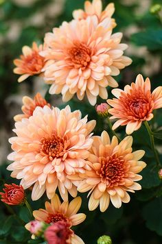 Lovely salmon colored chrysanthemums (mums)