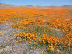 """A profusion of poppies! The image above is from the Antelope Valley California Poppy Preserve located west of Lancaster near the west end of the Mojave Desert. The California poppy (Eschscholzia californica Cham.) has been the state flower since 1903 and April 6 is officially designated in the state as California Poppy Day. Native Americans valued it as a food source for the oil extracted from the seeds. It was also known as copa de oro - """"cup of gold"""". The poppies grow in arid areas all…"""