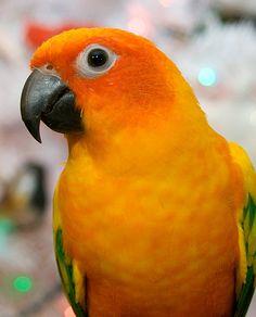 BEAUTIFUL orange sun conure