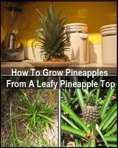 Really? You can grow a pineapple tree from the top of a pineapple?