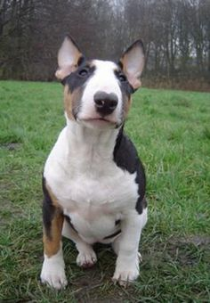 Mini Bull Terrier. I want mine to look just like this precious girl!!
