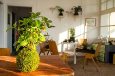A mai napig néhameglep, amikor belépek a nappaliba, hogy amit látok az nem pusztán egy dekoráció a lakásban, hanem egy valódi növény. Ez biztos furcsán hangzik, de a kokedama annnyira különleges látvány, hogy nem hasonlítható az eddigi kis cserepes virágaimhoz.fotó:…