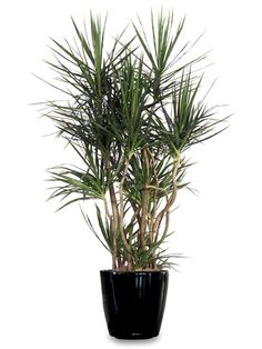 Just bought this same plant at Home Depot! - Dracaena Marginata.  Low light.  Easy care.  Looks cool.