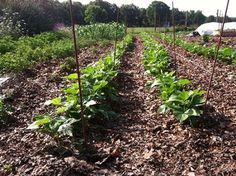 Growing Beans: Sustainable Protein You can grow a year's supply of beans in a surprisingly small amount of space
