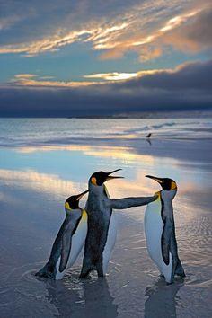 Pinguine. Andy Rouse, Großbritannien 2006 Erstaunlich menschlich: zwei rivalisierende Pinguin-Männchen beim heftigen Schlagabtausch. Das linke wird von seinem Weibchen angefeuert