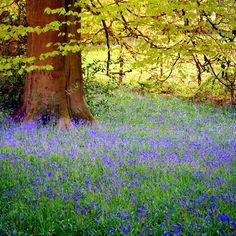 Bluebell Wood, Wales - Chris Whittington