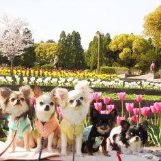 まるちゃんももちもちゃちゃりーたんBoAちゃん   #chihuahua  #tulip#cherryblossom #japan  #鶴見緑地…