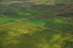 Wilmar's oil palm monocultures in Central Kalimantan
