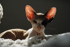 Triskell Faucille d'Argent (Peterbald Cattery QuiteLunatic)
