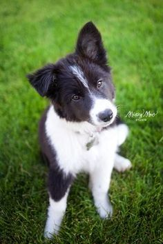 Such an Adorable Border Collie Pup. Australian Shepherds, Australian Cattle Dog, West Highland Terrier, Border Collie Puppies, Border Collies, Cute Cats And Dogs, I Love Dogs, Cute Puppies, Dogs And Puppies