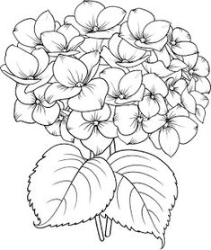 "Buy the royalty-free Stock vector ""Blooming flower hydrangea on white background. Mop head hydrangea"" online ✓ All rights included ✓ High resolution vec. Botanical Drawings, Botanical Illustration, Easy Drawings, Pencil Drawings, Watercolor Flowers, Watercolor Paintings, Hydrangea Painting, Flower Line Drawings, Hydrangea Flower"