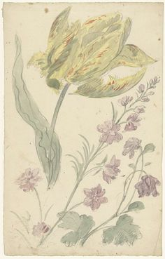 Elias van Nijmegen | Studie van een gele tulp en een andere plant, Elias van Nijmegen, 1677 - 1755 |