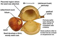 An immature macadamia nut (Macadamia integrifolia) released from its outer dehiscent husk (pericarp).