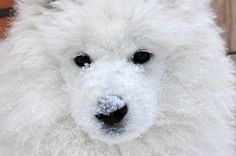 Sweet Samoyed Puppy!