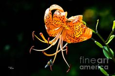 ORANGE LILY - Available in prints, framed prints, canvas prints, acrylic prints, metal prints, greeting cards.