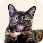 Luna is an adoptable Domestic Short Hair Cat in Saint Charles, MO. Hi! I am a very sweet girl that is good with people and other cats. I can be a little shy at first   http://www.petfinder.com/petdetail/22622977