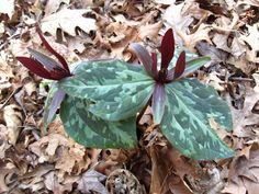 Trillium sessile | by Brooklyn Botanic Garden