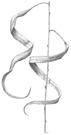 Peter Tugwell. Spiralling Leaves.  #sketch #sketching #draw #drawing #pencil  #galleryart #arte #illustration #artwork #artist #art #fineart #traditionalart #creative #creativity #progress Leaves Sketch, Led Pencils, Pencil And Paper, Artist Art, Traditional Art, Sketching, Art Gallery, Creativity, Drawings