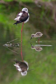 """Family birds"" at the pond Kinds Of Birds, All Birds, Little Birds, Love Birds, Pretty Birds, Beautiful Birds, Animals Beautiful, Simply Beautiful, Baby Animals"