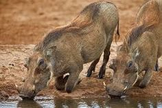 Image result for warthogs VIDEO Animals, Image, Animales, Animaux, Animal Memes, Animal, Animais, Dieren