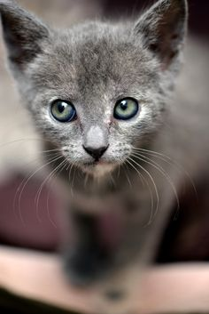 Russian Blue Cats Long Hair keep'n my eyes on you. Blue Cats, Grey Cats, Kittens Cutest, Cats And Kittens, Kitty Cats, I Love Cats, Cool Cats, Animals Beautiful, Cute Animals