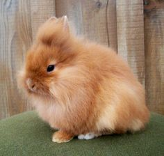 brown long haired rabbit