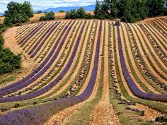 Rows of Lavender | Plateau de Valensole, France