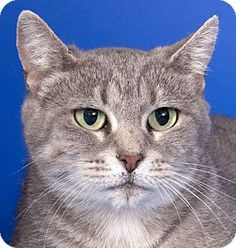 Chicago, IL - Domestic Shorthair. Meet Bunny, a cat for adoption. http://www.adoptapet.com/pet/13862220-chicago-illinois-cat