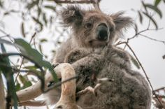 A Wild Koala in Victoria, Austrilia  I saw several as we were simply riding down  the road. Just love them!
