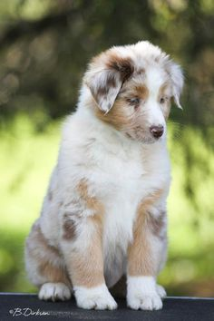 All About The Intelligent Australian Shepherd And Kids Super Cute Puppies, Cute Dogs And Puppies, I Love Dogs, Doggies, Australian Shepherd Puppies, Aussie Puppies, Australian Shepherds, Corgi Puppies, Aussie Shepherd