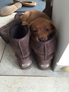 This lil' dude who can lay in your boot because…YEP, HE'S JUST THAT CUTE. | 27 Puppies Who Are Too Cute To Be Real – More at http://www.GlobeTransformer.org