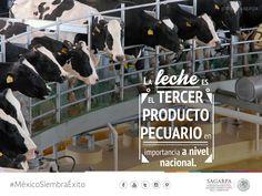 La leche es el tercer producto pecuario en importancia a nivel nacional. SAGARPA SAGARPAMX #MéxicoSiembraÉxito